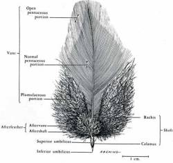 The anatomy of a feather anatomy (ncsce.org)