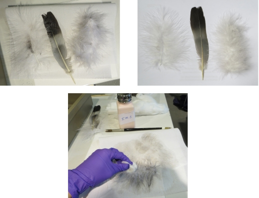 Solvent cleaning of feathers samples: before (up left), during (down) and after (up right).