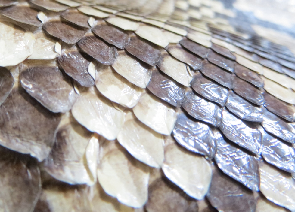 5. Detail of tanned python skin.