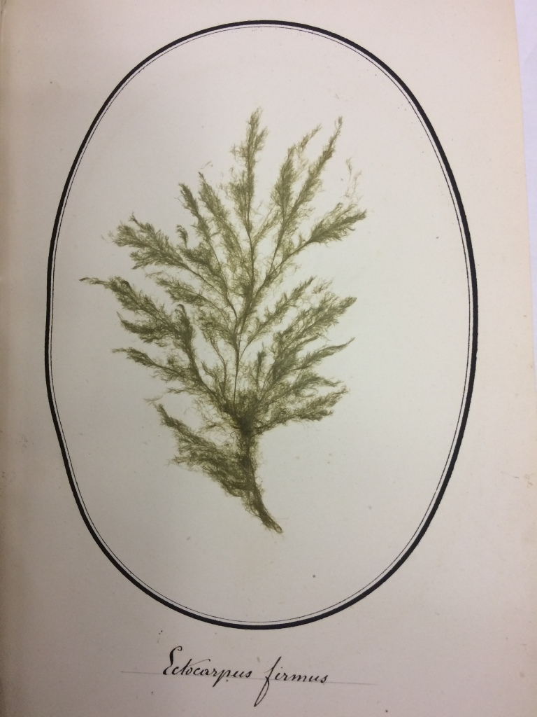 Example of a plate bearing pressed seaweed, labelled in a manuscript hand as 'Ectocarpus firmus'.